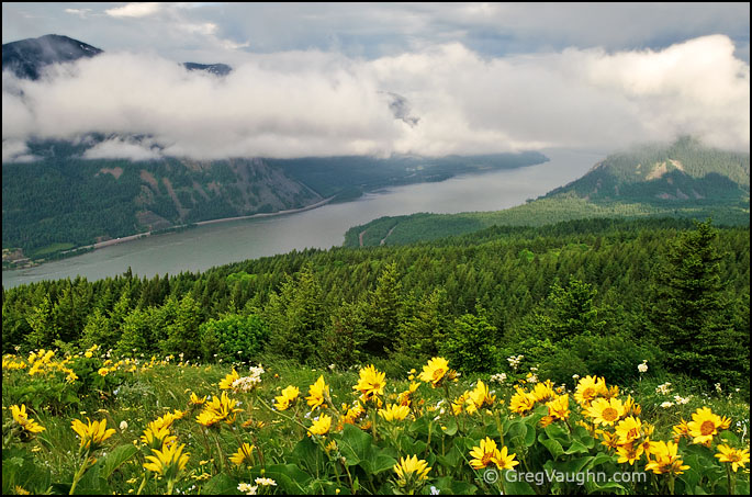 flowering balsamroot and view of the Columbia River from Dog Mountain Trail