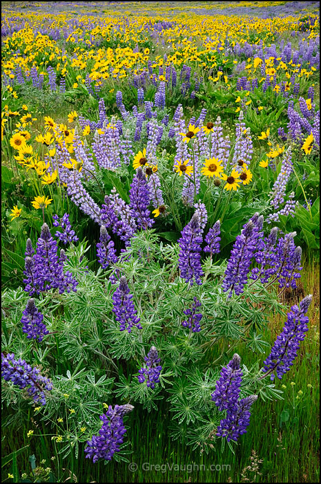 lupine and balsamroot flowering along Dalles Mountain Road