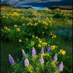 Columbia River Gorge Wildflowers