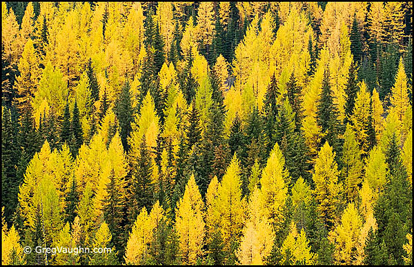 Larch trees in Colville National Forest