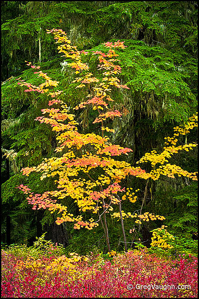 Vine maple tree with fall color leaves
