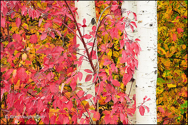dogwood leaves and aspen tree trunk