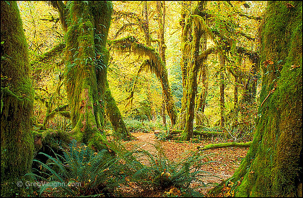 Hall of Mosses Trail in Hoh Rainforest