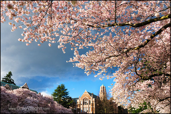 12040111_UW-cherry-trees